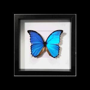 Lijst met Morpho Didius vlinder